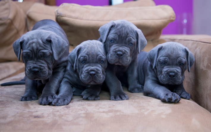 Download wallpapers Cane Corso, gray small puppies, small ...  Grey