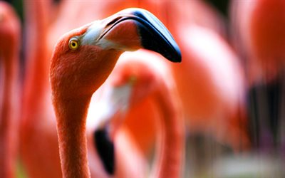 flamingo, close-up, Phoenicopterus, bokeh, rosa flamingo
