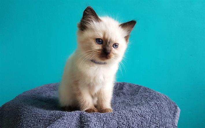 t l charger fonds d 39 cran chat de ragdoll 4k chaton moelleux chat mignon ragdoll animaux. Black Bedroom Furniture Sets. Home Design Ideas