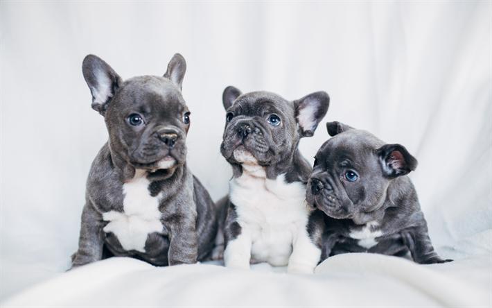 Scarica Sfondi Bulldog Francese Grigio Cuccioli Cani Di Piccola
