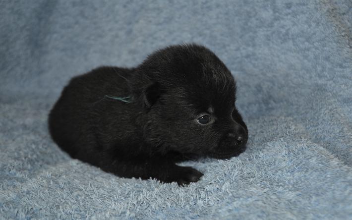 Popular Wallpaper Black Adorable Dog - thumb2-schipperke-little-black-puppy-cute-animals-little-cute-dog  You Should Have_62897  .jpg