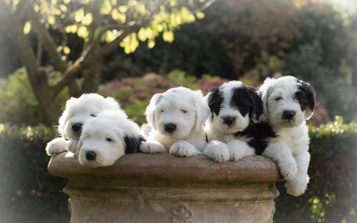 Scarica sfondi Cane da Pastore inglese antico, Bobtail, poco simpatici  cuccioli, cani, animali, famiglia, bob-coda di pecora-cane per desktop  libero. Immagini sfondo del desktop libero