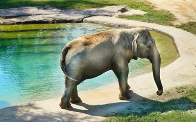 big elephant, pool, african animals, elephants