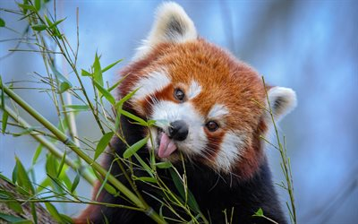 Red panda, teddy bear, cute animals, wildlife, pandas, wild animals