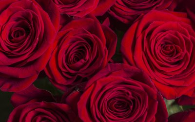red roses buds, background with red roses, dark red roses, floral background