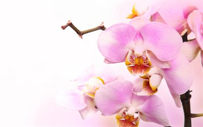 pink orchids, tropical flowers, orchids branch, potted plants, phalaenopsis