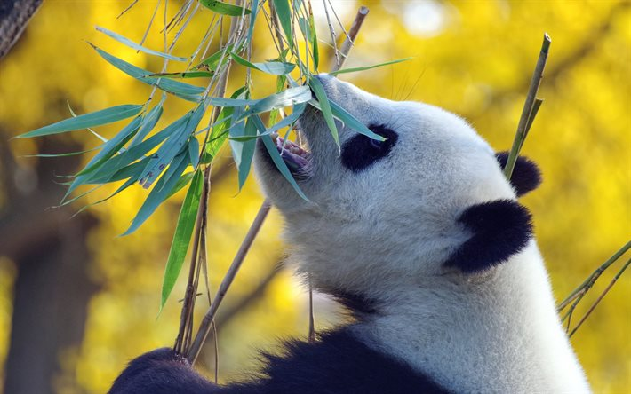 panda, eucalyptus leaves, wildlife, China, pandas, cute animals, panda eats eucalyptus