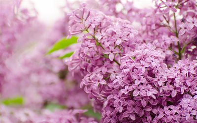 lilac, purple flowers, spring flowers, background with lilacs, beautiful flowers