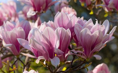 magnolia, pink spring flowers, spring, background with magnolias, beautiful flowers, spring flowering