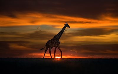 Giraffe, sunset, evening, Africa, wildlife, wild animals, giraffes, African animals