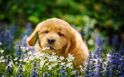 golden retriever, puppy, labrador, flowers, cute animals