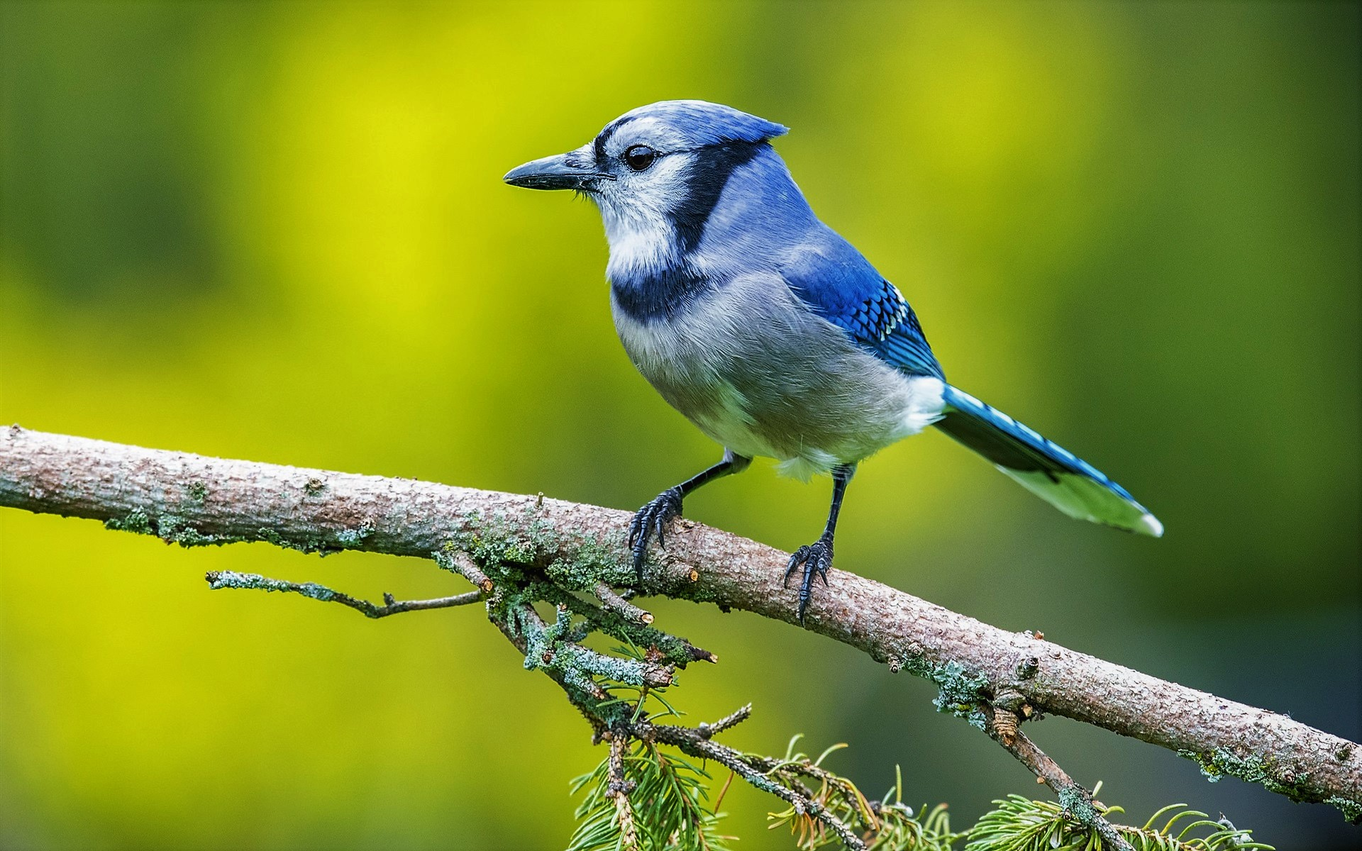 Blue Jay, branch, wildlife, bokeh, small bird, Cyanocitta cristata
