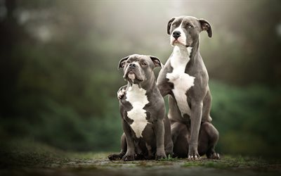 American Pit Bull Terrier, familia, animales lindos, bokeh, mascotas, perros, American Pit Bull Terrier Perros
