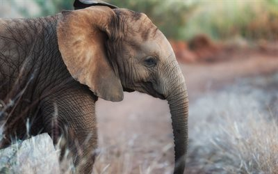 little baby elephant, evening, cute animals, elephants, african animals, wildlife, wild animals