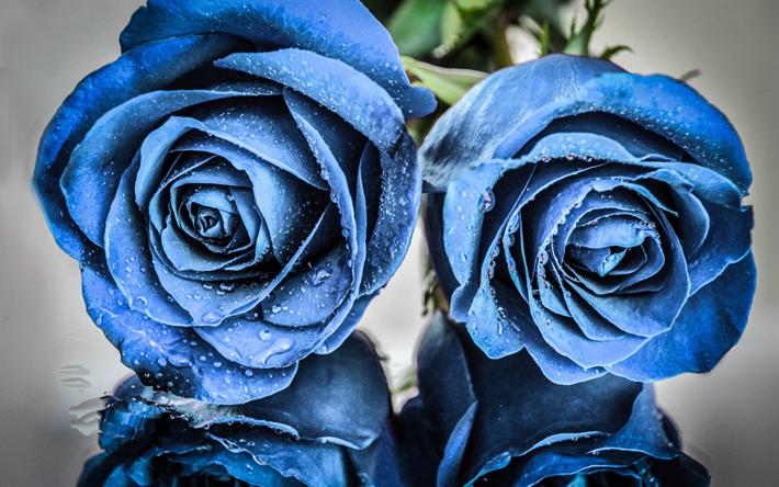 scarica sfondi blue rose boccioli di rose blu due rose fiori blu rose per desktop libero. Black Bedroom Furniture Sets. Home Design Ideas