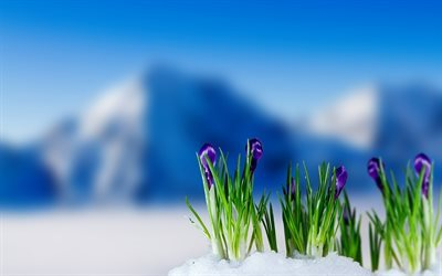 mountains, little flowers, spring, crocuses, blur