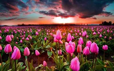 clouds, field of tulips, sunset, pink tulips
