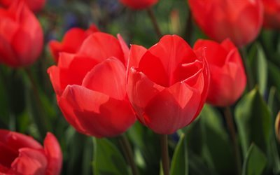 macro, red tulips, buds