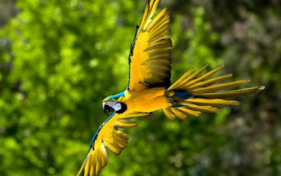 Macaw, wildlife, parrots, flying parrot, colorful parrots, Ara