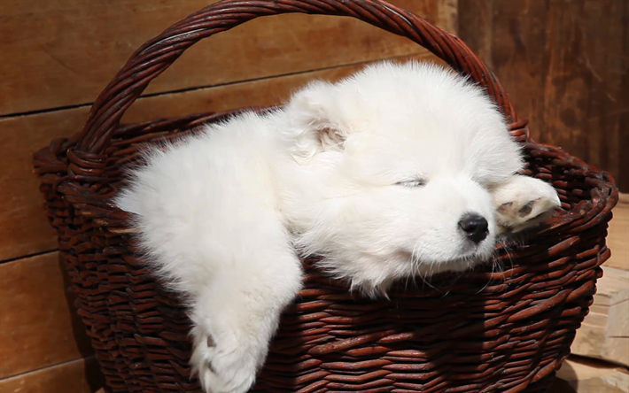 Download Wallpapers Samoyed Basket White Dog Puppy Sleeping Dog Cute Animals Small Samoyed Furry Dog Dogs Pets Samoyed Dog For Desktop Free Pictures For Desktop Free