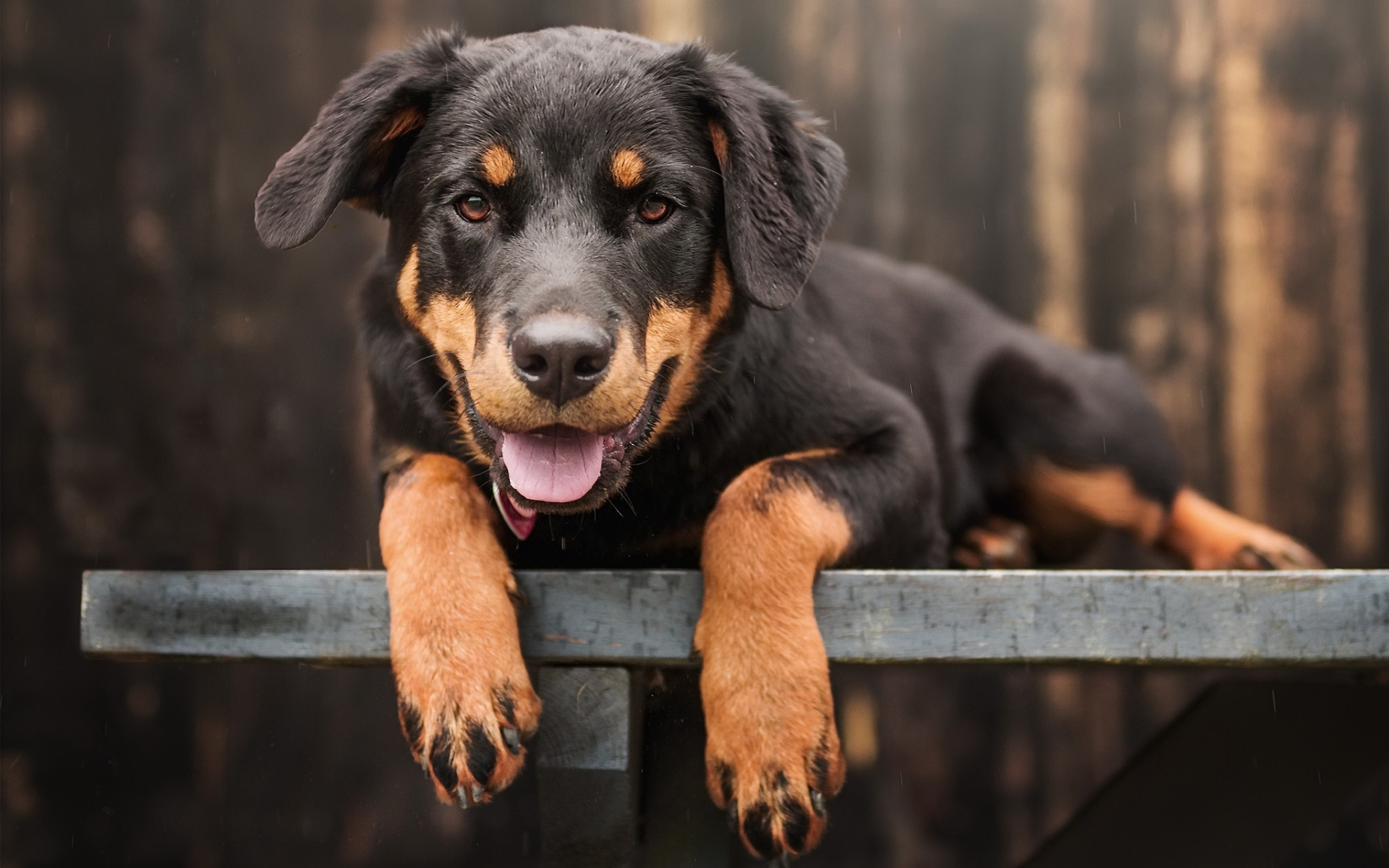 All About Rottweiler Dogs Or Puppies Cape Town Dogs Gumtree