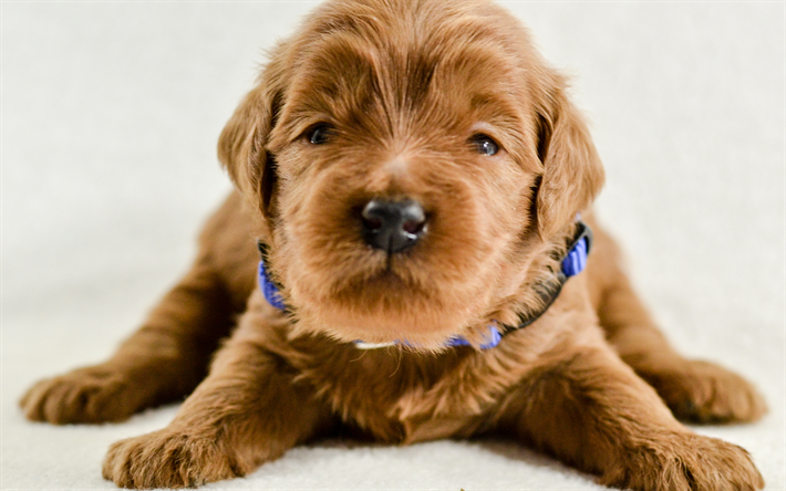 Download Wallpapers Goldendoodle Puppy Cute Dogs Small