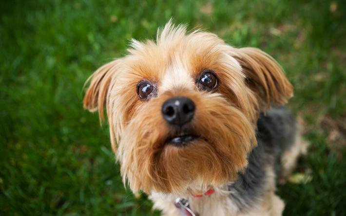 Telecharger Fonds D Ecran Le Yorkshire Terrier Les Animaux