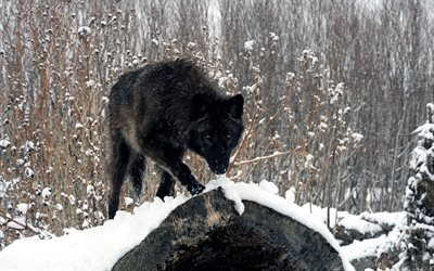 winter, black wolf, forest, snow, wolves