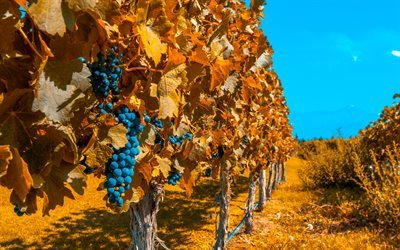 autumn, grapes, vineyard, fruit, Bunch of Grapes