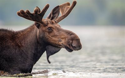 moose, river, wildlife, wild animals, moose in the water