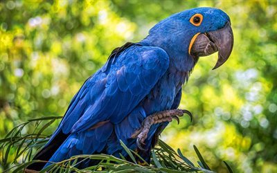 Hyacinth macaw, wildlife, blue parrots, bokeh, blue macaw, Anodorhynchus hyacinthinus, parrots, macaw