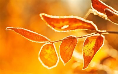morning, autumn, tree branch, yellow leaves, frost