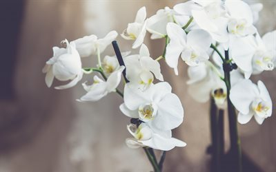 white orchids, tropical flowers, orchids, orchid branch