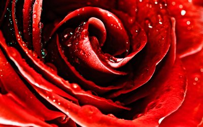 red rose, macro, red flowers, dew, beautiful flowers, water drops, red buds, roses