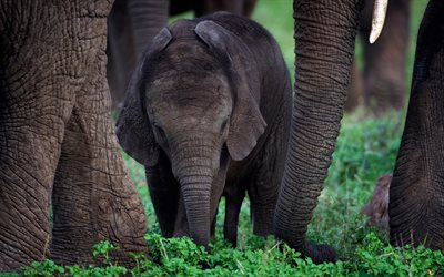little elephant, elephant family, wildlife, green grass, gray elephant, elephants, India