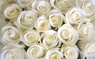 White roses, bouquet of roses, white flowers, roses