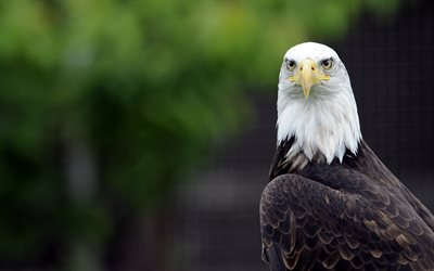 Bald eagle, symbol of the USA, bird of prey, predator, beautiful birds, Haliaeetus leucocephalus, eagle