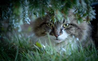 Norwegian Forest Cat, forest, wildlife, cats, green leaves, trees