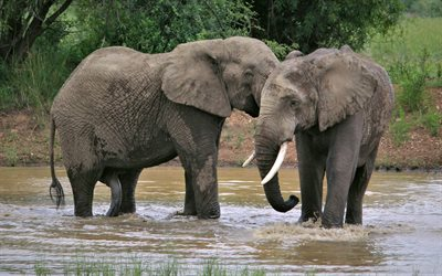 elephants, wildlife, Africa, elephants in the river, wild animals, elephant family