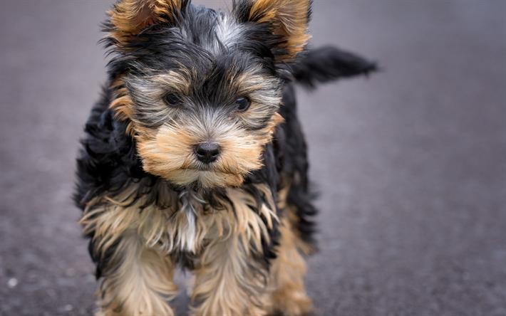 Telecharger Fonds D Ecran Le Yorkshire Terrier Noir Chiot