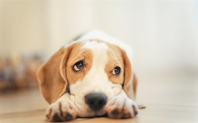 beagle, little cute puppy, pets, small dog, cute look