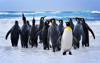 Emperor penguins, 4k, antarctic ocean, wildlife, penguins, Aptenodytes forsteri