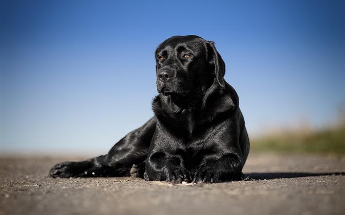 Download Wallpapers Black Big Retriever, Black Labrador -5244