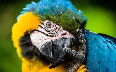 Blue-and-yellow macaw, blue and yellow parrot, macaw, beautiful birds, blue-and-gold macaw