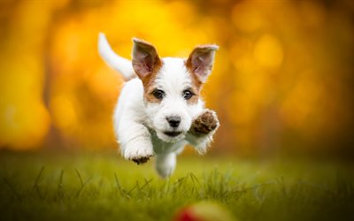 Jack Russell Terrier Corgi, autumn, pets, dogs, bokeh, Jack Russell Terrier, cute dog, Jack Russell Terrier Dog