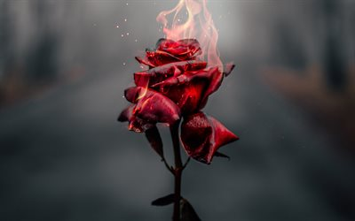 burning rose, 4k, fire flames, broken love concept, burning flower, roses