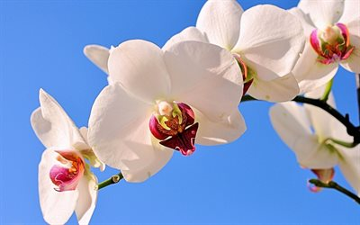 white orchids, tropical flowers, orchid branch, blue sky, orchid, floral background