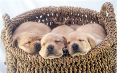 Labradors, little puppies, golden retriever puppies, sleeping puppies, cute animals, pets, puppies in a basket