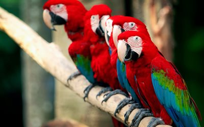 Scarlet macaw, red parrots, macaw, beautiful red birds, parrots, South American parrot