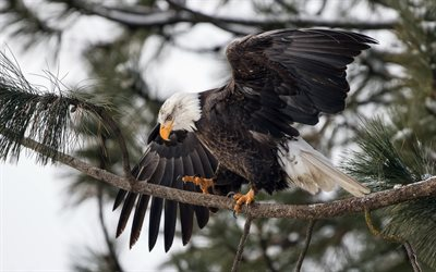 Bald eagle, bird of prey, symbol of the USA, winter, forest, snow, eagles